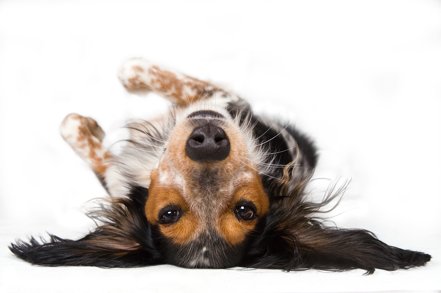 Submissive Urination Dog Breeds