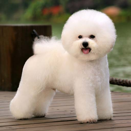 Bichon Frises Have An Easy And Happy Disposition | LOVELY DOG
